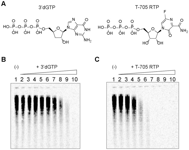Inhibition of the influenza virus RNP complex by 3′dGTP and T-705 RTP. (A) Chemical structures of the obligate chain terminator 3′dGTP and the base-modified T-705 ribofuranosyl 5′-triphosphate (T-705 RTP). (B) Polyacrylamide gel electrophoresis (6%) showing the decrease in radiolabeled viral RNA product from the enzymatic reaction in the presence of increasing concentrations of 3′dGTP. Concentrations of inhibitor are as follows: lane 1 (0), lane 2 (0.023), lane 3 (0.069), lane 4 (0.21), lane 5 (0.62), lane 6 (1.9), lane 7 (5.6), lane 8 (16.7), lane 9 (50), and lane 10 (150 µM). (C) same as (B), with the same concentration range of T-705 RTP as inhibitor.