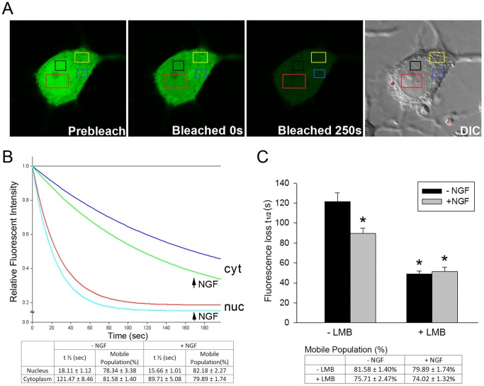 NGF accelerates nuclear trafficking of FGFR1 by reducing FGFR1 nuclear export. ( A ) FGFR1-EGFP was transfected into PC12 cells. Twenty-four hours after transfection, cultures were treated with 50 ng/ml NGF and LMB (100 ng/ml in 0.1% v/v ethanol) or ethanol alone (0.1% v/v ethanol) for an additional 48 h and during subsequent imaging. Examples of FGFR1-EGFP expressing cells before and after photo-bleaching are shown. DIC image indicates the nuclear and cytoplasmic regions. About 1/3 nuclear area of PC12 cell was bleached by high intensity laser and 2–3 regions of interest (ROI) intensity were measured. ( B ) Single-exponential analysis of FGFR1-EGFP FLIP regression in cytoplasm and nucleus showed that the diffusion rate of FGFR1-EGFP is affected by NGF treatment in live cells. Individual curves represent means of at least 23 cells. NGF significantly increases the FGFR1-EGFP exchange between nucleus and cytoplasm (half-time decreases) without affecting the FGFR1-EGFP mobile population. ( C ) Single-exponential analysis of FGFR1-EGFP FLIP regression in the cytoplasm shows that NGF facilitates FGFR1-EGFP trafficking between the cytoplasm and nucleus (half-time decreases from 121.5 sec to 89.7 sec; One-way AVOVA, LSD*p