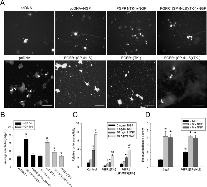 Nuclear FGFR1 mediates NGF induced neurite outgrowth and activation of the th gene promoter. ( A ) PC12 cells were transfected with two plasmids, one expressing recombinant FGFR1 or control pcDNA3.1 and the second expressing EGFP. EGFP diffuses throughout the cell permitting visualization of the entire neuritic network. More than 90% of cells co-expressed transfected plasmids as reported in previous studies [29] , [73] . Twenty-four hours after <t>transfection</t> cultures were switched to 1% horse serum medium with or without (control) 50 ng/ml NGF for an additional 10 days, after which the cells were imaged using fluorescent microscopy. Bar length - 100 µm. ( B ) The longest process in an individual transfected cell was measured using ImageJ [24] .* mark comparison to pCDNA3.1 (-NGF) and # to pCNA3.1 (+NGF). Transfection of constitutive nuclear FGFR1(SP−/NLS) increased neurite outgrowth approximately 3-fold (*p