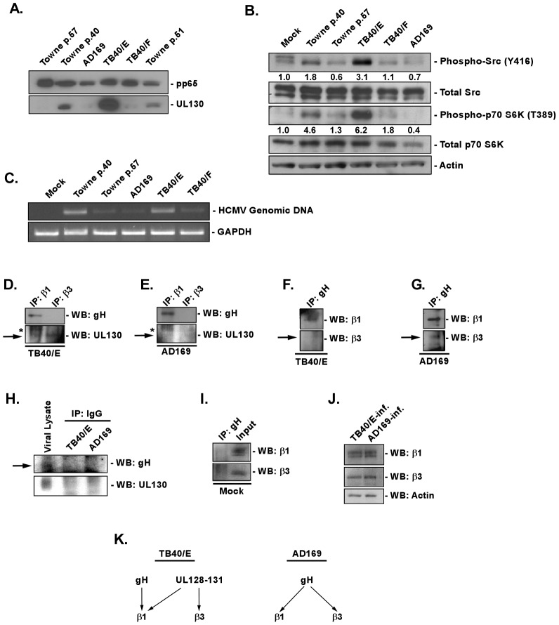 Presence of the gH/gL/UL128-131 complex links HCMV′s ability to activate and efficiently enter into target monocytes. (A) Approximately 2×10 6 virions of Towne (p.40, p.51 and p.57), AD169, TB40/E and TB40/F were spun down through a sucrose cushion, lysed and western blot analyses were performed using antibodies recognizing the HCMV proteins, pp65 and pUL130. (B) Monocytes were isolated and cultured in low serum for 24 h at 37°C/5% CO 2 . Monocytes were then mock- or HCMV (Towne p.40, Towne p.57, TB40/E, TB40/F, AD169)-infected (M.O.I. of 5) and harvested at 15 min. pi. Western blot analyses were performed using antibodies specific for the phosphorylated and non-phosphorylated forms of Src and p70 S6 kinase. Actin was used as a loading control. The results were also measured by densitometry with relative numbers shown in the figure. (C) Monocytes were mock infected or HCMV (Towne p.40, Towne p.57, TB40/E, TB40/F, AD169) infected (M.O.I. of 0.1) for 1 h at 4°C, then temperature shifted to 37°C for 1 h. Monocytes were washed and treated with Proteinase K solution for 1 h. Monocytes were then harvested and semi-quantitative PCR was performed using primers complementary to genomic HCMV DNA and cellular GAPDH, as an internal control. PCR reactions were analyzed by agarose gel electrophoresis using ethidium bromide. (D, E, F, G, H, I and J) Monocytes were mock- or HCMV (TB40/E or AD169)-infected (M.O.I. of 5) for 1 h at 4°C, then 2 mM of DTSSP [3,3′-dithiobis (sulfosuccinimidylpropionate] was added at 4°C for additional 2 h. Cells were spun down and lysed. Antibodies recognizing β1, β3 integrins, HCMV gH or isotype control IgG were added overnight at 4°C to cellular lysates and then protein A/G Sepharose was added for 4 h at 4°C. Protein A/G Sepharose beads with bound protein complexes were spun down, washed with a lysis buffer and resuspended in sample buffer. Western blot analyses were performed using antibodies recognizing β1 and β3 integrins, as well as the HCMV gH an