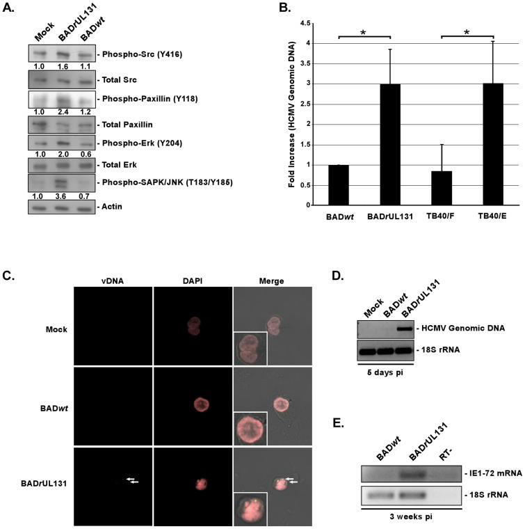 The HCMV gH/gL/UL128-131 complex is critical for activation of, and for efficient and productive viral internalization into target monocytes. (A) Monocytes were cultured in low serum for 24 h at 37°C/5% CO 2 . Monocytes were then mock- or HCMV (BAD wt or BAD r UL131)-infected (M.O.I. of 5) and harvested at 15 min. pi. Western blot analyses were performed using antibodies specific for the phosphorylated and non-phosphorylated forms of Src, paxillin, Erk and SAPK/JNK. Actin was used as a loading control. The results were also measured by densitometry with relative numbers shown in the figure. (B) Monocytes were HCMV (BADwt, BADrUL131, TB40/F or TB40/E)-infected (M.O.I. of 0.1) for 1 h at 4°C, then temperature shifted to 37°C for 1 h. Monocytes were washed and treated with Proteinase K solution for 1 h. Monocytes were then harvested and quantitative real-time PCR was performed using primers complementary to genomic HCMV DNA and 18S rRNA, as an internal control. Results are plotted as a mean ±SEM. Student's T-tests were performed and p