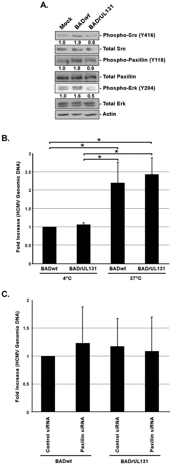 Presence of the gH/gL/UL128-131 complex has no effect on the integrin/Src/paxillin signaling pathway in and HCMV internalization into fibroblasts. (A) Fibroblasts were cultured in low serum for 24 h at 37°C/5% CO 2 . Fibroblasts were then mock- or HCMV (BADwt or BADrUL131)-infected (M.O.I. of 5) and harvested at 20 min. pi. Western blot analyses were performed using antibodies specific for the phosphorylated and non-phosphorylated forms of Src, paxillin, and Erk. Actin was used as a loading control. The results were also measured by densitometry with relative numbers shown in the figure. (B) Fibroblasts were infected with BADwt or BADrUL131 (M.O.I. of 0.1) for 1 h at 4°C, then left at 4°C or temperature shifted to 37°C for 1 h. (C) Fibroblasts were transfected with siRNA complementary to paxillin or a control siRNA for 48 h. Fibroblasts were infected with BADwt or BADrUL131 (M.O.I. of 0.1) for 1 h at 4°C, then temperature shifted to 37°C for 1 h. (B and C) Then, fibroblasts were washed and treated with Proteinase K solution for 1 h. Cells were then harvested and quantitative real-time PCR was performed using primers complementary to genomic HCMV DNA and 18S rRNA, as an internal control. Results are plotted as a mean ±SEM. Student's T-tests were performed and p