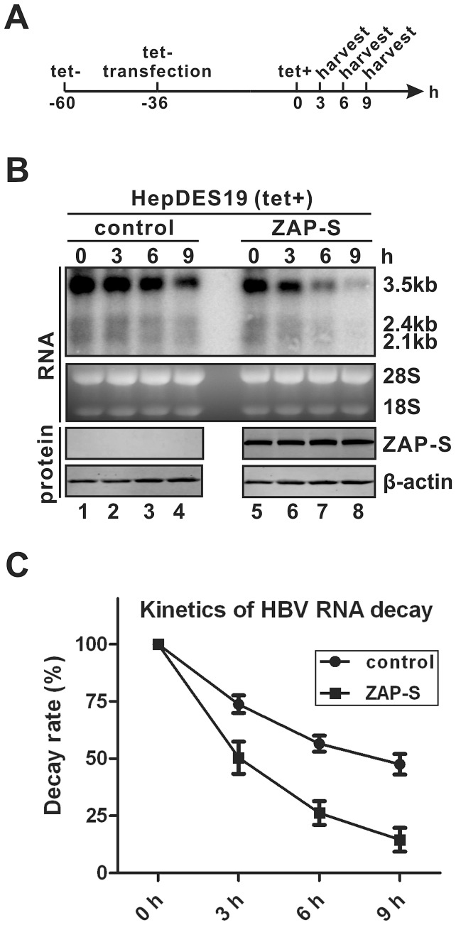 ZAP-S promotes HBV RNA decay in cell cultures. (A) Experimental procedure: HepDES19 cells were seeded in 35 mm-dish and cultured with tetracycline-free medium to induce HBV RNA expression. One day later, cells were transfected with 4 µg of control vector or plasmid ZAP-S for 36 h, then tetracycline was added back to the culture medium to shut down pgRNA transcription. Cells were harvested at indicated time points. (B) HBV RNA was extracted from harvested samples and analyzed by Northern blot. Expression of HA-tagged ZAP-S was detected by Western blot. The results are representative of three separate trials. (C) Kinetics analysis of HBV RNA decay in the absence or presence of ZAP-S overexpression. The relative levels of HBV RNA from each sample were expressed as the percentage of the RNA signals from the corresponding sample at time point 0 h.