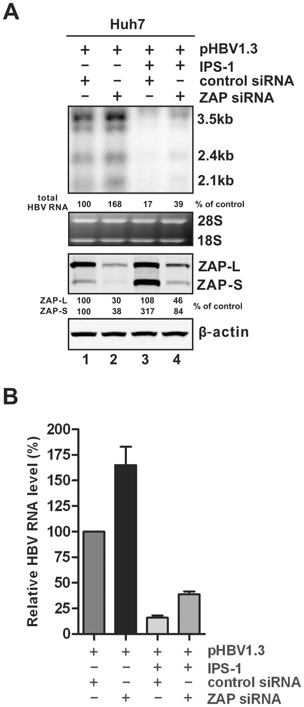 Knock down of ZAP expression increases the steady state level of HBV RNA. (A) Huh7 cells in 35 mm dishes were transfected with 50 nM of control siRNA (lanes 1 and 3) or hZAP siRNA (lanes 2 and 4). At the second day, cells were repeatedly transfected with the same siRNA at same amount used in the previous transfection, together with 1 µg of pHBV1.3 and 1 µg of control vector (lanes 1 and 2), or 1 µg of pHBV1.3 plus 1 µg of plasmid expressing IPS-1 (lanes 3 and 4). Cells were incubated for an additional 48 h and harvested for HBV RNA and ZAP protein analyses by Northern and Western blot, respectively. Relative level of HBV RNA or ZAP isoforms in each sample is expressed as the percentage of RNA or protein level in the control sample (lanes 1), and is presented underneath each of the blots. (B) Viral RNA levels were quantified from three experimental trials and plotted as relative level of control samples (mean ± SD).