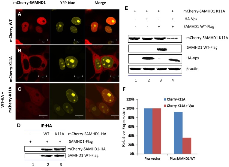 WT SAMHD1 relocates cytoplasm-localized mutants of SAMHD1K11A to the nucleus and facilitates their Vpx-induced degradation. (A)–(C) Wild-type SAMHD1-HA partially translocated <t>pmCherry-SAMHD1</t> K11A to the nucleus. pmCherry-SAMHD1-HA WT and/or K11A with pEYFP-Nuc were co-transfected into HEK293T cells using <t>PEI</t> Max. Live cells were imaged at 24 h post-transfection. (D) Interaction between wild-type SAMHD1 and K11A. pSAMHD1 WT-Flag was co-transfected with pmCherry-SAMHD1-HA WT or K11A. Transfected cells were harvested after 48 h and incubated in lysis buffer for 30 min. Cell lysates were added to an anti-HA affinity matrix (Roche). Eluted protein samples were detected by immunoblotting with anti-HA and anti-Flag antibody to detect mCherry-SAMHD1 and SAMHD1-Flag, respectively. (E) Immunoblotting demonstrates that pmCherry-SAMHD1 K11A became sensitive to Vpx-mediated degradation when co-expressed with SAMHD1 WT. HEK293T cells were co-transfected with HA-Vpx and pmCherrySAMHD1 K11A and/or pSAMHD1-Flag wild-type. Cell extracts were harvested 48 h later and analyzed by SDS-PAGE, followed by immunoblotting to detect SAMHD1-HA and HA-Vpx. β-actin was used as the loading control.