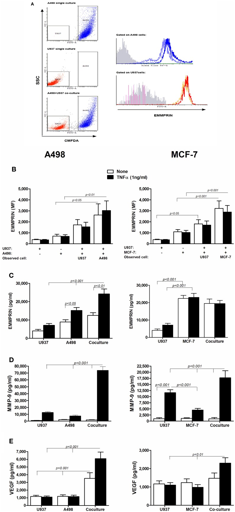 The effect of co-culture on the secretion of EMMPRIN, MMP-9 and VEGF . 10 6 A498 or MCF-7 cells were incubated in a serum-free medium either separately or with 0.5 × 10 6 U937 cells in co-culture for 48 h, with or without the addition of TNFα (1 ng/ml), and 0.5 × 10 6 U937 cells were incubated in a serum-free medium with or without the addition of TNFα (1 ng/ml). (A) Representative dot plot for the A498 and U937 co-cultures. Light blue and orange histograms—EMMPRIN expression in single cultures of A498 cells and U937 cells, respectively; Blue and red histograms—EMMPRIN expression measured separately on A498 or U937 cells, respectively, incubated in their co-cultures. Gray histogram—isotype control. (B) Mean fluorescence (MF) of the membranal expression of EMMPRIN that was evaluated by flow cytometry ( n = 8). Concentrations of secreted proteins were determined in the supernatants by ELISA for (C) EMMPRIN ( n = 6), (D) MMP-9 ( n = 8) and (E) VEGF ( n = 8).