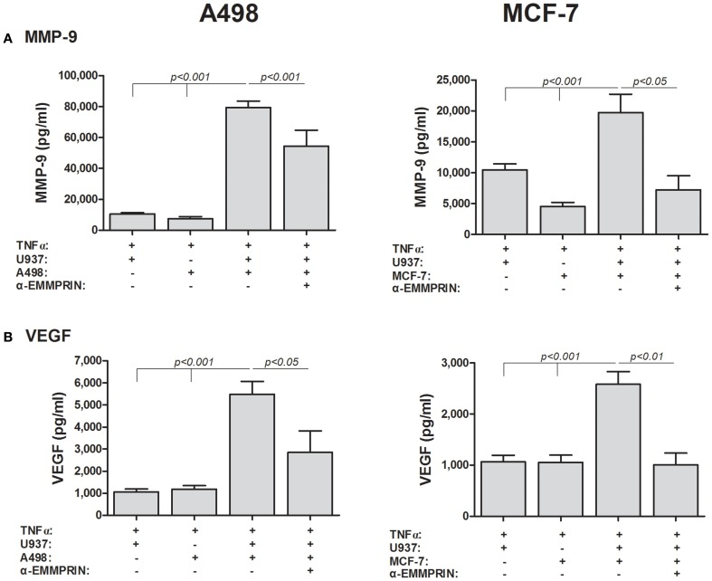 EMMPRIN neutralization inhibits secretion of VEGF and MMP-9 . 5 × 10 5 A498 or MCF-7 cells were incubated separately or in co-cultures with 2.5 × 10 5 U937 cells in a serum-free medium supplemented with TNFα (1 ng/ml) for 48 h, with or without the addition of anti-EMMPRIN (2 ng/ml). Concentrations of (A) MMP-9 and (B) VEGF were determined in the supernatants using ELISA ( n = 7).