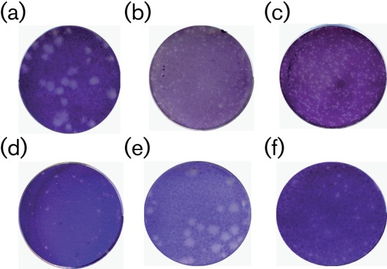 Plaque phenotypes of SBV in different cell lines. Infected cells were fixed after 3 days incubation at 37 °C and stained with crystal violet. (a–d) Wild-type (authentic) SBV in BHK-21 (a), BSR-T7/5 (b), Vero E6 (c) and CPT-Tert (d) cells; (e) rSBV in BHK-21 cells; (f) rSBVdelNSs in BHK-21 cells.