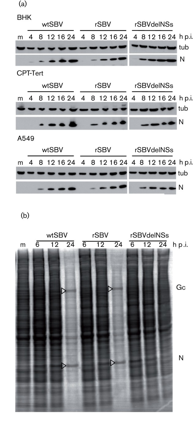 Viral protein synthesis in mammalian cells. (a) N production. BHK-21, CPT-Tert or A549 cells were infected with wtSBV, rSBV or rSBVdelNSs at an m.o.i. of 3 and incubated at 37 °C. Cell lysates were prepared at different times after infection, and proteins were separated by SDS-PAGE and transferred to nitrocellulose membrane. Accumulation of viral N was detected by reaction with anti-N antibody, and detection of tubulin (tub) was used as a loading control. (b) Host-cell protein shut-off. BHK-21 cells were infected with wtSBV, rSBV or rSBVdelNSs at an m.o.i. of 3 and incubated at 37 °C. At different times p.i., the cells were labelled for 1 h with [ 35 S]methionine and cell extracts were fractionated by SDS-PAGE. The dried gel was exposed to X-ray film. The positions of viral Gc and N are indicated. m, Mock-infected cells.