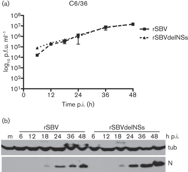 Replication in mosquito cells. (a) Growth kinetics. A. albopictus C6/36 cells were infected with rSBV or rSBVdelNSs at an m.o.i. of 3 and incubated at 28 °C. The amount of virus released into the supernatant at different times p.i. was determined by plaque assay in BHK-21 cells. (b) N production. Cells were infected as above and lysates were prepared at different times p.i. Proteins were separated by SDS-PAGE and transferred to nitrocellulose membrane. Accumulation of viral N protein was detected by reaction with anti-N antibody, and detection of tubulin (tub) was used as a loading control. m, Mock-infected cells.