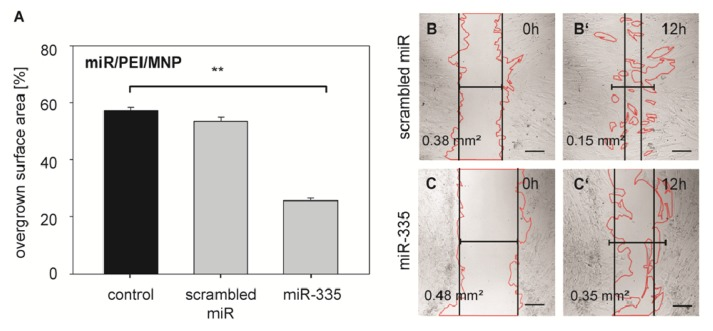 Migration activity of hMSCs after <t>miR-335</t> <t>transfection.</t> ( A ) hMSCs were transfected with miR/PEI/MNP complexes and migration activity was tested 24 h after transfection. The overgrown surface area of transfected cells was measured before and 12 h after scratching. Untransfected cells were used as control. Data are presented as mean ± standard error, n = 5, ** p ≤ 0.001; ( B , C ) Representative images after transfection with magnetic polyplexes containing either scrambled miR ( B , B′ ) or miR-335 ( C , C′ ). Images were taken immediately after ( B , C ) and 12 h after scratching ( B′ , C′ ). Values represent the non-overgrown surface area. Scale bar = 200 μm.