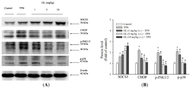 The effect of glycyrrhizin (GL) on liver histological SOCS3 and apoptotic pathway protein expression in rat livers. ( A ) Western blot analysis of proteins related to SOCS3 and the apoptotic pathway in the control, TPN and GL-pretreated groups; ( B ) SOCS3, CHOP and MAPK signaling protein expression were measured. The TPN group significantly increased SOCS3 protein expression, whereas SOC3 protein expression was decreased in the GL pretreatment groups. The phosphorylated of p38 MAPK and JNK proteins was increased in the TPN groups compared to the control and pretreatment groups. CHOP protein was also increased following TPN treatment. Equal amounts of protein from the total cell lysates of rat livers pretreated with GL were analyzed. β-actin served as an internal control. Protein levels were quantified using densitometric analysis and the control was set at 100%. The data depicted in bar graph are the mean ± SD of three independent measurements ( n = 6 in each group). * p