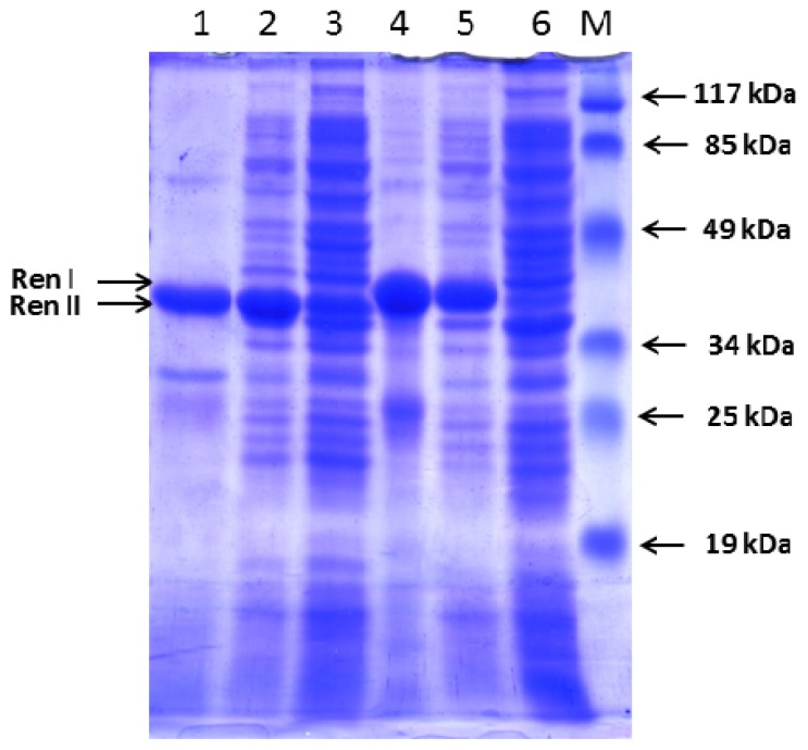 Expression of hRenalase1 and hRenalase2 in E. coli cells. Sodium dodecyl sulfate-polyacrylamide gel electrophoresis (SDS-PAGE) analysis of expression of polyHis hRenalase1 (RenI—39 kDa) and hRenalase2 (RenII—36 kDa) in E. coli Rosetta (DE3) cells transformed by pET-hRenI and pET-hRenII vectors. Tracks 1 and 4—polyHis hRenalase2 (RenII—36 kDa) and hRenalase1 (RenI—39 kDa), respectively, purified on Ni-Sepharose; Tracks 2 and 5—lysates of cells transformed pET-hRenI и pET-hRenII induced with 1.0 mM IPTG; Tracks 3 and 6—lysates of cells transformed pET-hRenI and pET-hRenII, without IPTG; Track M—molecular mass markers. Mass values are shown on the right.