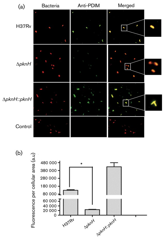 (a) Immunofluorescence microscopy analysis. Bacteria were labelled with rhodamine, and scFv antibodies against PDIMs were used as primary antibodies. Anti-MBP antibody coupled to goat anti-mouse IgG-FITC was used as the secondary antibody. The merged images are shown in the panels on the right. M. smegmatis was used as a negative control. (b) Immunofluorescence detection. Data represent the means± sd of green fluorescence intensity (labelled PDIMs) in arbitrary units (a.u.), which corresponds to labelled PDIMs, per cellular area; n = 50 single bacterial cells. * P ≤0.05.