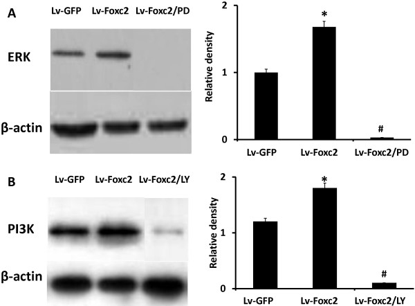 Foxc2 overexpression induces activation of ERK and PI3K in BMSCs. (A , B) BMSCs were transfected with Lv-GFP, Lv-Foxc2 or Lv-Foxc2 following pretreatment with 50 μM PD98059 or 10 μM LY294002 for 1 h. Cell lysates harvested after 2 weeks of culture were analyzed by SDS-PAGE and Western blot with anti ERK or anti-PI3K antibody. The result of ERK or PI3K expression was indicated by the ratio of band intensity of ERK or PI3K with β-actin. *p