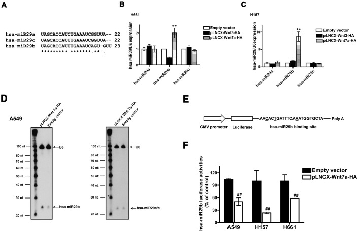 Wnt7a/Fzd9 signaling regulates hsa-miR29b. ( A ) Multiple alignments of hsa-miR29a, hsa-miR29b and hsa-miR29c. Real-time PCR analyses of the expression of hsa-miR29a, hsa-miR29b and hsa-miR29c in NSCLC cell lines. H661 ( B ) or H157 ( C ) cells were transfected either with empty vector, pLNCX-Wnt3-HA or pLNCX-Wnt7a-HA. After 24 h, total RNA was extracted and reverse transcribed. Real-time PCR analysis was carried out using the cDNAs and hsa-miR29a, hsa-miR29b or hsa-miR29c specific primers. RNU6B was used as the internal control for normalization. Data represent mean ± SEM of three separate experiments performed in duplicates. ** P