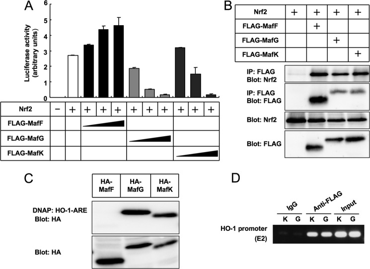 MafK and MafG, but not MafF, suppress transcriptional activity of HO-1 . A , pHO1-luc reporter activities were activated by overexpression of Nrf2, and the effects of MafF, MafG, and MafK were examined. Error bars represent S.D. B , interaction between Nrf2 and small Mafs was examined by coprecipitation assays in 293T cells. MafF, MafG, and MafK all coprecipitated Nrf2. C , binding of small Mafs to AREs from HO-1 . HA-tagged MafF, MafG, and MafK were expressed in 293T cells, and the cell lysates were incubated with biotinylated double-stranded DNA fragments ( Table 3 ) and precipitated with avidin beads. Coprecipitated proteins were detected with anti-HA antibody. D , chromatin immunoprecipitation analysis using anti-FLAG antibody detected binding of MafK and MafG to the HO-1 promoter region including ARE (E2) in NMuMG-MafK ( K ) and NMuMG-MafG ( G ) cells, respectively. DNAP , DNA affinity precipitation; IP , immunoprecipitation.