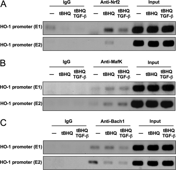 Effects of TGF-β on the recruitment of Nrf2, MafK, and Bach1 to AREs (E1 and E2) in the HO-1 promoter. NMuMG cells were treated with TGF-β (5 ng/ml) for 1 h before stimulation with t BHQ (25 μ m ) for 4 h. After fixation, soluble chromatin was immunoprecipitated using anti-Nrf2 ( A ), anti-MafK ( B ), or anti-Bach1 ( C ) antibody as indicated. HO-1 promoter fragments containing AREs (E1 and E2) were amplified by PCR. Input , total chromatin solution analyzed as a control.
