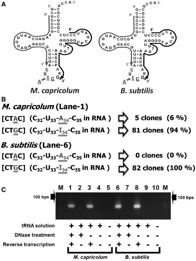 Reverse transcriptase–PCR of tRNA Arg I CG from M. capricolum and B. subtilis . ( A ) Comparison of the nucleotide sequences of M. capricolum (Mca) and B. subtilis (Bsu) tRNA Arg I CG , obtained from ( 15 ). The cloverleaf structures are shown. I, 4, D, K, P, 7 and T represent inosine, 4-thio-uridine, dihydrouridine, 1-methylguanosine, pseudouridine, 7-methylguanosine and 5-methyluridine (ribosylthymine), respectively. Regions of primers for reverse transcription of the first strand (and first primers for PCR) are shown with black arrows. Regions of the second primers for PCR are shown with gray arrows. ( B ) Summary of sequences of cDNA clones for M. capricolum and B. subtilis tRNA Arg I CG . The DNA sequences of the cDNA clones, except for the PCR primer regions, are shown in brackets. The RNA sequences corresponding to the obtained DNA sequences are shown in parentheses. I (inosine) in the RNA sequence corresponds to G in the DNA sequence obtained by reverse transcription. ( C ) Agarose gel electrophoresis of reverse transcriptase–PCR products. Lane M: size marker (100-bp ladder, the position of 100 bp is shown with an arrow). Lanes 1–10: PCR products of various templates. Lane 1: reverse-transcribed McatRNA Arg I CG solution treated with DNase before reverse transcription. Lane 2: total McatRNA solution with DNase treatment. Lane 3: Reverse-transcribed McatRNA Arg I CG solution without DNase treatment before reverse transcription. Lane 4: total McatRNA solution without DNase treatment. Lane 6: reverse-transcribed BsutRNA Arg I CG solution with DNase treatment before reverse transcription. Lane 7: total BsutRNA solution with DNase treatment. Lane 8: reverse-transcribed BsutRNA Arg I CG solution without DNase treatment before reverse transcription. Lane 9: total BsutRNA solution without DNase treatment. Lanes 5 and 10: control (no RNA/DNA).
