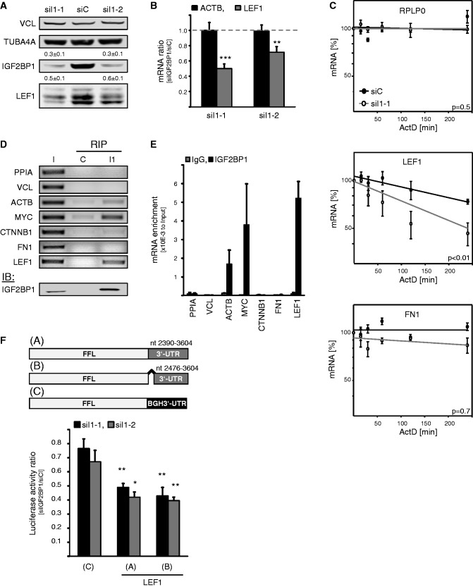 IGF2BP1 promotes LEF1 expression by preventing LEF1 mRNA degradation. ( A and B ) HEK293 cells were transfected with control (siC) or indicated IGF2BP1-directed (siI1-1, siI1-2) siRNAs for 72 h. Protein abundance on IGF2BP1 knockdown was determined relative to controls (siC) by western blotting using VCL and TUBA4A for cross-normalization, as indicated above panels. Representative western blots of three independent analyses are shown. ACTB and LEF1 mRNA levels were analyzed by qRT-PCR. Changes in RNA abundance on IGF2BP1 knockdown (siIGF2BP1) were determined relative to controls (siC) by the ΔΔC t -method using PPIA for normalization. ( C ) RNA decay was monitored in HEK293 cells transfected with indicated siRNAs for 72 h by blocking mRNA synthesis using ActD (5 µM) for indicated times. RNA levels were determined by qRT-PCR using normalization to PPIA by the ΔΔC t -method. RPLP0 served as a control. RNA decay is depicted in semi-logarithmic scale. Statistical significance determined over three independent analyses was analyzed by Student's t -test, as shown in panels ( P -values). ( D and E ) The association of indicated mRNAs with IGF2BP1 in HEK293 cells was analyzed by RIP using formaldehyde fixation to stabilize mRNPs prior purification. Endogenous IGF2BP1 was immunopurified (I1) by a monoclonal antibody, as indicated by western blotting in the lower panel (IB). Co-purification of indicated mRNAs was analyzed relative to the input fraction (I, 10% of cell lysates) by semi-quantitative (D) as well as qRT-PCR (E). IgG-agarose served as a control (C) for unspecific mRNA binding. The enrichment of mRNAs by immunopurification of IGF2BP1 (I1) was determined relative to the input fraction by using the ΔC t -method (E). ( F ) Upper panel: Scheme of used Firefly reporters comprising the two alternative LEF1 3′-UTRs (A: Acc.No., NM_016269 /001130713/ 001166119; B: Acc.No., NM_001130714) or the vector-encoded BGH-3′UTR (C). Lower panel: HEK293 cells were transfected with control or indicated IGF2BP1-directed siRNAs for 48 h before the co-transfection of Firefly luciferase reporters (A–C: see scheme in upper panel) and Renilla luciferase control reporters for 24 h. Changes in Firefly luciferase reporter activities on IGF2BP1 knockdown (siIGF2BP1) were determined relative to controls (siC) on normalization by Renilla activities. Statistical significance was validated by Student's t -test: * P