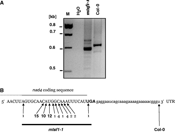 3′ truncated nad4 mRNAs accumulate in mtsf1 plants. ( A ) Agarose gel showing circular RT-PCR amplification products for the nad4 gene in the wild-type (Col-0) and mstf1-1 mutant. M: DNA size marker, H 2 O: negative control. ( B ) Partial RNA sequence showing the last 60 nucleotides of nad4 mRNA. The region corresponding to the coding sequence is shown in capital letters. The rest corresponds to the 3′ UTR. The UGA stop codon is shown in bold. The arrows indicate the positions of the nad4 mRNA 3′ ends found in the wild-type (Col-0) and mtsf1-1 plants. Numbers on arrows represent how often a particular end was found after sub-cloning and sequencing the major band shown in panel A.