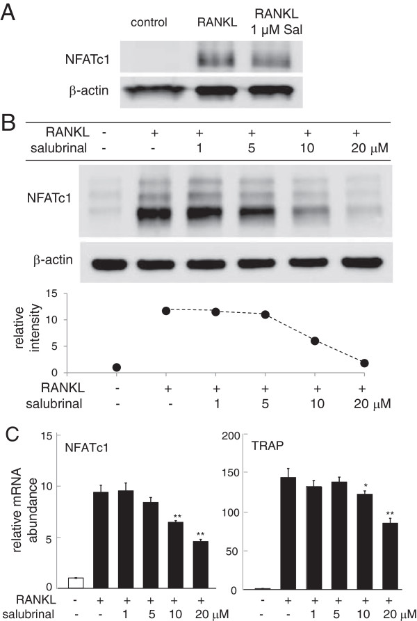 Suppression of RANKL- induced expression of NFATc1 and TRACP by salubrinal in RAW264. 7 cells. A : Salubrinal-driven suppression of NFATc1 expression in RANKL-stimulated bone marrow-derived cells. B : Dose dependent suppression of NFATc1 in response to 1 – 20 μM salubrinal. β-actin was used as a loading control. C : Relative mRNA levels of NFATc1 and TRACP in response to 1 – 20 μM salubrinal. The mRNA levels are normalized by the mRNA level of the sample without salubrinal in the absence of RANKL stimulation.