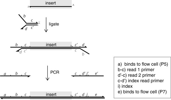 Oligonucleotide design and products of protocol. P5 and P7 are names given by Illumina to the oligo sequences that bind to the flow cell.