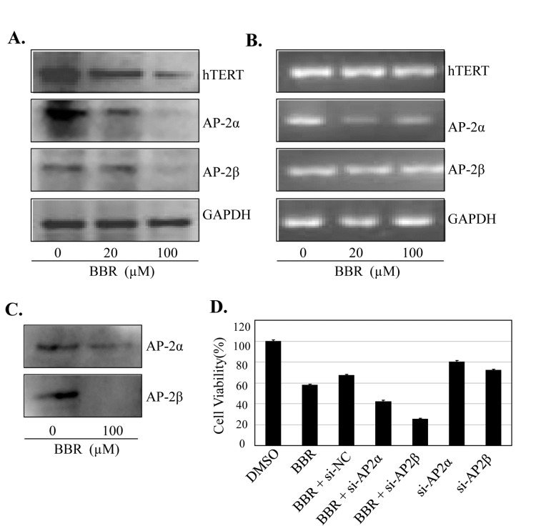 BBR inhibited AP-2/hTERT signaling. ( A – C ) Human NSCLC A549 cells were treated with BBR at the indicated doses. At 48 hours after treatment, the AP-2 and hTERT proteins ( A ) and mRNA ( B ) were analyzed by Western blotting and RT-PCR, respectively. GAPDH were used as controls for sample loading. The binding of AP-2 to hTERT promoter probe ( C ) was analyzed by a streptavidin-agarose pulldown assay. ( D ) A549 cells were transfected with an AP-2 siRNA or an AP-2-expressing vector for 24 hours, and then treated with BBR (100 µM). At 48 hours after treatment, protein expression and cell viability were determined by Western blot and MTT assay, respectively. The percent cell viability in each treatment group was calculated relative to cells treated with the vehicle control. The data are presented as the mean ± SD of three separate experiments. *, P