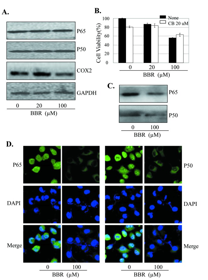 BBR inhibited NF-κB/COX-2 signaling. ( A ) Human A549 cells were treated with BBR at the indicated doses. At 48 hours after treatment, the COX-2 protein was analyzed by Western blotting. GAPDH were used as controls for sample loading. ( B ) A549 cells were pretreated with the COX-2 selective inhibitor celecoxib (CB, 20 µM) for 24 hours, and then treated with BBR (20 µM). At 48 hours after treatment, cell viability was determined by MTT analysis. The percent cell viability in each treatment group was calculated relative to cells treated with the vehicle control. ( C ) A549 cells were treated with BBR at the indicated doses. At 48 hours after treatment, the binding of p50 and p65 to COX-2 promoter probe was analyzed by a streptavidin-agarose pulldown assay. ( D ) A549 cells were treated with BBR (100 nM). At 48 hours after treatment, the effect of BBR on NF-κB p65 and p50 translocation was analyzed by immunofluorescence assay. The data are presented as the mean ± SD of three separate experiments. *, P