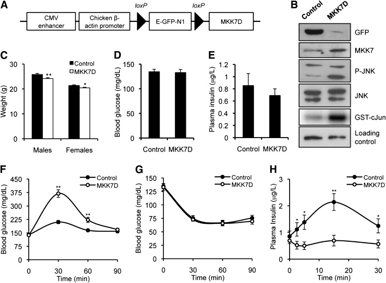 JNK activation in pancreatic β-cells leads to glucose intolerance as a result of an impaired capacity to increase insulinemia in response to hyperglycemia. A : Diagram of the GFP loxP -MKK7D transgene. Transgenic mice constitutively express GFP under the control of the CMV enhancer/chicken β-actin promoter (control mice). When crossed with RIP-Cre mice, the GFP cassette is floxed in pancreatic β-cells, leading to the constitutive expression of MKK7D in this cell type (MKK7D mice). E-GFP-N1 (enhanced green fluorescent protein) encodes a red-shifted variant of wild-type GFP. B : Immunoblot analysis of GFP, MKK7, phospho-JNK (P-JNK), and JNK in extracts from isolated pancreatic islets of control and MKK7D mice (first to fourth panel). Fifth panel shows JNK activity assessed by immunocomplex assay. C : Body weight comparison of control and MKK7D mice. Plasma glucose ( D ) and insulin ( E ) level in 6-h-fasted control and MKK7D mice. GTT ( F ), ITT ( G ), and glucose-stimulated insulin secretion ( H ) in control and MKK7D mice. Assays were performed in 3-month-old mice with at least 10 animals per group. * P