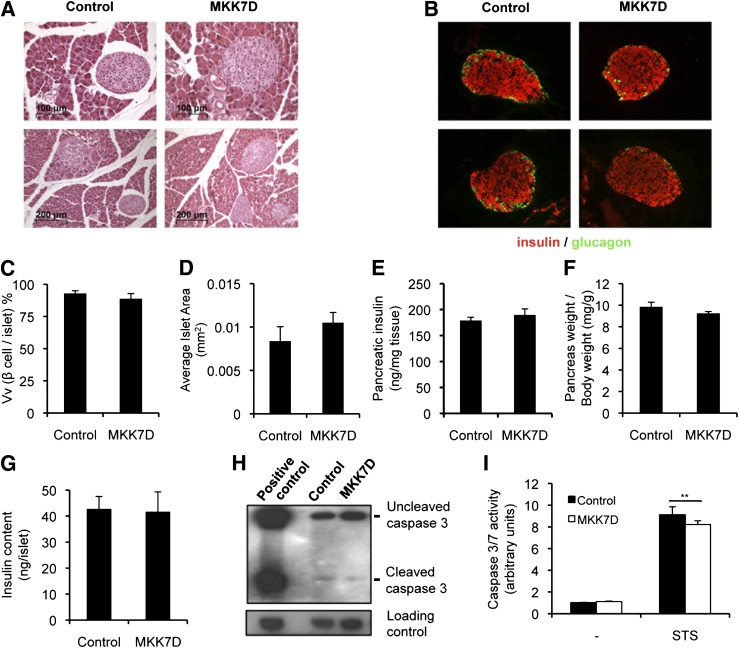 JNK activation in pancreatic β-cells affects neither the morphology nor the insulin content of the islets. Pancreatic histological sections of control and MKK7D animals stained with hematoxylin-eosin ( A ) or analyzed by immunohistochemistry with antibodies against insulin and glucagon ( B ). Average β-cell volume to islet volume (Vv) ( C ) and islet area ( D ), insulin content of pancreas ( E ), pancreas weight relative to body weight ( F ), insulin content in isolated islets ( G ) from control and MKK7D mice. H : Immunoblot analysis of caspase 3 in extracts from isolated islets of control and MKK7D mice. Positive control was an extract from neurons treated overnight with staurosporine. I : Caspase 3 activity in extracts from isolated islets untreated or incubated for 20 h with 10 μmol/L staurosporine (STS) of control and MKK7D mice. Assays were performed in 3-month-old mice with at least 10 animals or 200 islets per group. ** P