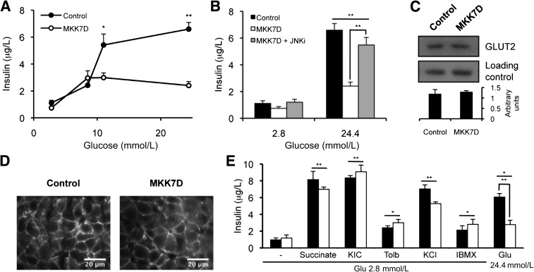 JNK activation in pancreatic β-cells impairs glucose-stimulated insulin secretion. Insulin secretion of pancreatic islets isolated from control and MKK7D mice stimulated with the indicated concentrations of glucose ( A ) and in the presence or absence of JNKi-1 (JNKi) as indicated ( B ). Analysis of GLUT2 expression by immunoblot in extracts from pancreatic islets ( C ) and subcellular localization by immunohistochemistry in pancreatic sections ( D ) of control and MKK7D mice. E : Insulin secretion of islets isolated from control and MKK7D mice in response to 2.8 mmol/L (−) and 24 mmol/L glucose (Glu), succinate, KIC, tolbutamide (Tolb), KCl, and IBMX, as indicated. Assays were performed in 3-month-old mice and repeated at least 3 times. * P