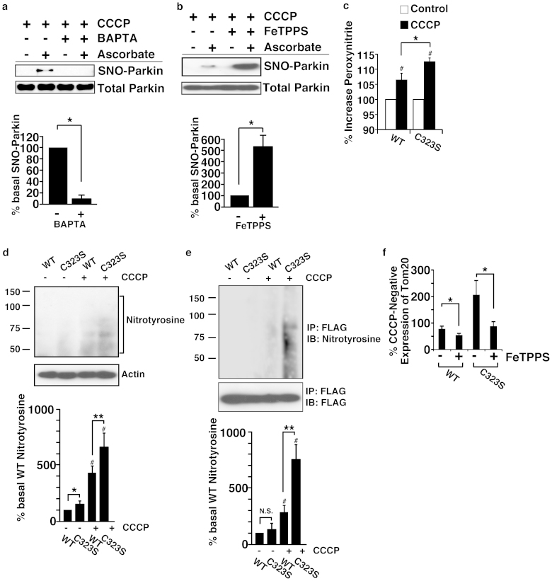 Peroxynitrite negatively regulates mitochondrial degradation. (a) and (b) SH-SY5Y cells overexpressing parkin were treated with <t>BAPTA-AM</t> (10 μM) (a) or <t>FeTPPS</t> (5 μM) (b) with CCCP (10 μM) for 3 hr, and lysates were analysed by SNO-RAC. The quantity of S-nitrosylated parkin, as measured by scanning densitometry, is expressed as a percentage of control, normalized with respect to total parkin. Data shown are mean ± SE (n = 3); *p