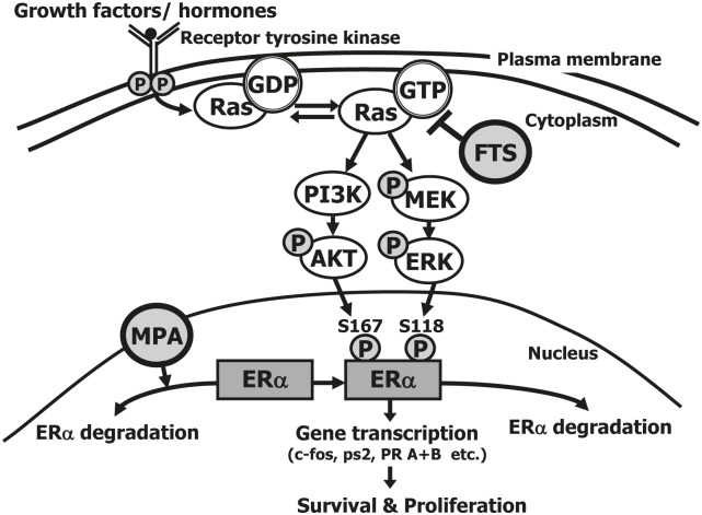 Proposed mechanism of the combined action of FTS + MPA on EC cells Estrogens play an important role in the regulation of cell proliferation, differentiation, and function of the endometrium. They mediate their biological effects through two estrogen receptors in the nucleus, namely ERα and ERβ. ERs are transcription factors that are activated by phosphorylation and control gene expression. The activation is induced either in response to ligand binding or independently of ligand. Ras becomes active in the Ras-GTP form, which is upregulated by extracellular signals such as growth factors and hormones that bind the tyrosine kinase receptor. Once activated, Ras-GTP signals to multiple effector pathways that regulate proliferation, survival, metabolism, migration and shape of the cell. One of these pathways causes phosphorylation of <t>Akt,</t> which leads to cell survival, and another causes phosphorylation of <t>ERK,</t> leading to cell proliferation. Nuclear ERα is phosphorylated by pAkt at Ser167 and by pERK at Ser-118. Once phosphorylated, ERα is activated to target the transcription of genes (such as c-fos, ps2/TFF1 , and PR A+B ), leading to cell survival and proliferation. MPA increases ERα degradation, thereby reducing ERα in the cell (both in the nucleus and in the cytoplasm). FTS inhibits active Ras-GTP, leading to a decrease in pAkt and pERK, and hence a decrease in pERαSer118 and in pERαSer167, and finally a decrease in ERα gene transcription. These results showed that the combination of MPA + FTS inhibits proliferation of endometrial cells. ERα, estrogen receptor alpha; FTS, S-farnesylthiosalicylic acid; MPA, medroxyprogesterone acetate; PI3K, phosphatidylinositide 3-kinase; s118, serine-118; s167, serine-167.