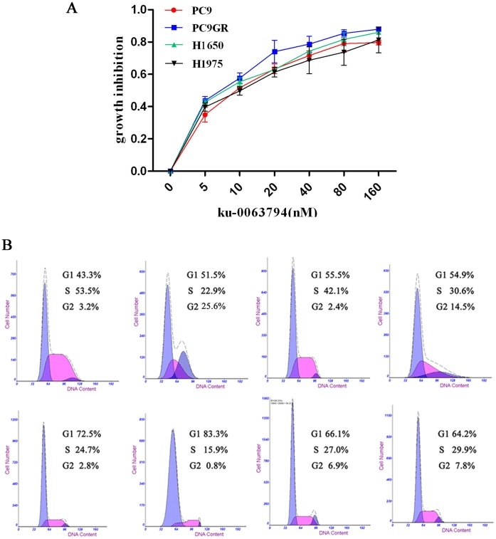 Ku-0063794 inhibited cell proliferation and induced G1 cell cycle arrest in EGFR mutant NSCLC cells. (A) Inhibition efficiency of ku-0063794 in the four NSCLC cell lines. (B) Ku-0063794 induced cell cycle arrest in both EGFR TKI-sensitive and -resistant cells. The upper panel represents basal cell cycle distributions of the PC9, PC9GR, H1650, and H1975 cell lines, respectively, and the lower panel represents the cell cycle distributions of PC9, PC9GR, H1650, and H1975 cells after treatment with the IC 50 concentrations of ku-0063794 for 72 hr.
