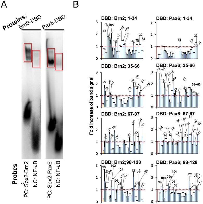 Screening of cis- elements by a gel mobility shift assay with the Brn2 or Pax6 DNA-binding domain (DBD). The left panel shows a representative gel mobility shift of the Sox2-Brn2 or Sox2-Pax6 consensus probe by Brn2-DBD or Pax6-DBD. A NF-κB consensus probe was used as a negative control. The probe sequences were the following: Sox2-Brn2: GGGTAGTGTGGACAAAAGGCAATAATTAGCATGAGAATC , Sox2-Pax6: GGGAAATATTCATTGTTGTTGCTCACCTACCATGGA , and NF-κB: GGGAGTTGAGGGGACTTTCCCAGGC. The right graphs show the radioactivity in the expected area of the gel shift of Brn2-DBD or Pax6-DBD (surrounded by red line). The values indicate the fold increase of the band intensity when the intensity of the positive control was set as 1.0.