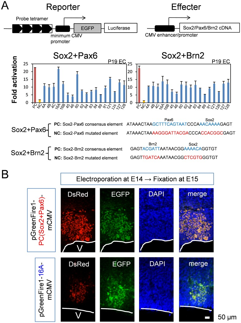 Screening of cis- elements by luciferase assay. (A) The double-positive cis -elements ( Table 1 ) were subcloned into a reporter plasmid (pGreenFire1-mCMV), and their transcriptional activity was tested by cotransfection with effecter plasmids (Sox2+Pax6 or Sox2+Brn2) into P19 cells. Fold activation was calculated in comparison to the activity of the negative control reporter plasmid possessing a nonsense sequence as the cis -element. We simultaneously tested positive controls (PC) and negative controls (NC) that possess Sox2-Pax6 or Sox2-Brn2 consensus and mutated elements, respectively. Red and yellow bars represent transcriptional activity of PC and NC, respectively. (B) The transcriptional activity of the cis -element (P16A) in neural stem/progenitor cells in vivo was examined by in utero electroporation of the reporter plasmid. Electroporation was performed on E14 and sampling was done on E15. The positive control reporter plasmid, pGreenFire1-PC (Sox2+Pax6)-mCMV, possesses a Sox2-Pax6 consensus sequence. pGreenFire1-16A-mCMV was generated by inserting the 16A oligpnucleotides:GTGAACCCTTTCAGATTTAGTGACGTAGCTTCACAAAGTGATTAA into pGreenFire1-mCMV. Confocal microscopy (LSM510META, CarlZeiss AG) with 40X water emersion lens was used to visualize the fluorescence. Green fluorescent protein signals were detected in NSPCs, even though the DsRed signals were weaker than the positive control, indicating that 16A possessed strong enhancer activity in vivo .