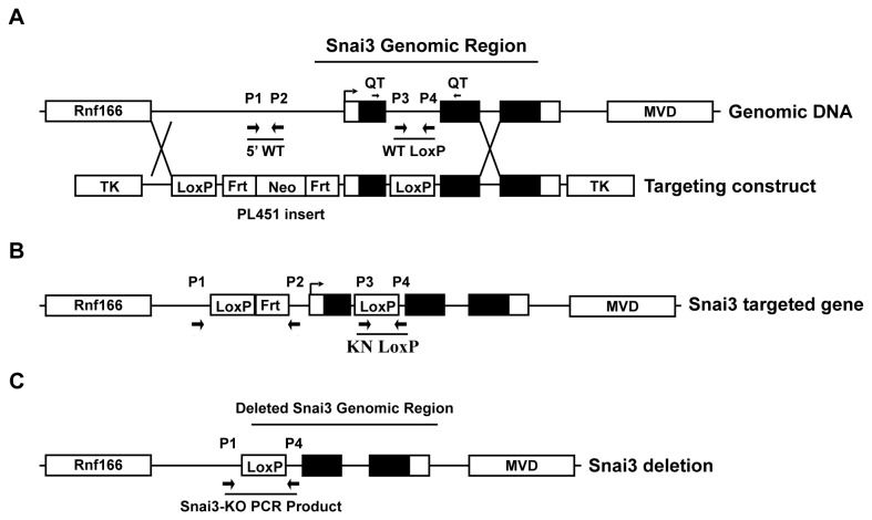 Conditional Snai3 deletion strategy. (A) The Snai3 WT genomic DNA region contains the Rnf166 gene 5 kb upstream and the MVD gene 10 kb downstream. The Snai3 gene consists of 5' and 3' untranslated regions (white boxes), three exons (black boxes), and two introns. Arrow marks the transcriptional start site (TSS). Primers used for genotyping mice and for QT-PCR of Snai3 transcript are labeled as P1-P4 and QT, respectfully, and listed in Supplemental Table 1 . The Targeting Construct had a LoxP site inserted into the PacI site of intron one and the PL451 cassette inserted into the SalI site 2kb upstream of the TSS. (B) Homologous recombination created the Snai3 targeted genome containing unique 5' PL451 and Knockin LoxP PCR products. The Neomycin (Neo) cassette was deleted via FLP-mediated recombination of Frt sites. (C) Cre recombinase activity deleted the Snai3 genomic region and created a new PCR product by bringing together primers P1 and P4, which are normally 6kb apart and unable to make a PCR product. Figure is not to scale.