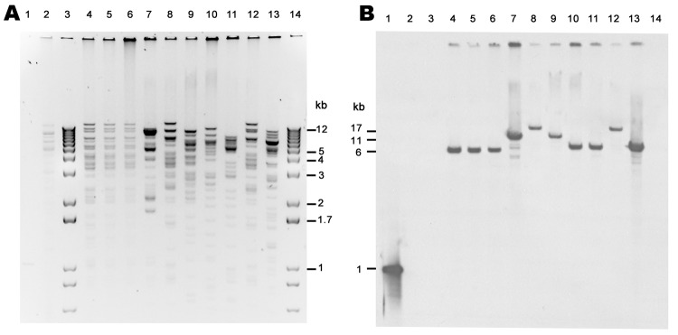 Xmn I restriction analysis of New Delhi metallo-β-lactamase (NDM)–encoding plasmids, United States, April 2009–March 2011, from transformants (A) and subsequent Southern blot analysis with digoxigenin-labeled bla NDM probe hybridized to a blot of same gel (B). Lane 1, NDM PCR product, positive control; lane 2, NDM-negative plasmid (ATCC-1705); lanes 3 and 14, 1-kb plus marker; lane 4, TF 0S-506; lane 5, TF 1100770; lane 6, TF 1100975; lane 7, TF1100192; lane 8, TF 1000527; lane 9, TF 1101459; lane 10, TF 1101168; lane 11, TF 1100101; lane 12, TF 1001728; lane 13, TF 1000654.
