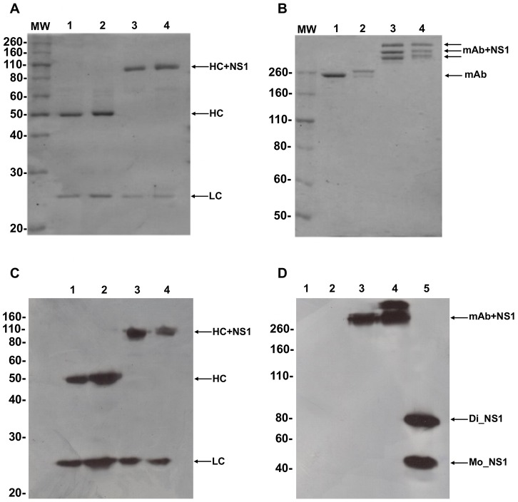 Production and characterization of αDEC-NS1 and αDCIR2-NS1 mAbs. Approximately 1 µg of each mAb was separated under reduced (A) and non-reduced (B) conditions. Both gels were stained with Coomassie Blue dye. The heavy (HC) and light (LC) chains of the following antibodies are shown: 1) αDEC, 2) αDCIR2, 3) αDEC-NS1, 4) αDCIR2-NS1. (C) Western blotting using anti-mouse <t>IgG</t> and anti-mouse kappa chain conjugated to <t>HRP</t> to verify the recognition of both heavy and light chains of each antibody. The numbers indicate the same order as in (A). (D) Western blotting on a non-reduced gel using a mouse serum raised against the dimeric form of NS1 followed by protein A conjugated to HRP. Columns 1–4, same as (A), column 5 contains 1 µg of NS1 produced in bacteria (Di_NS1: dimeric NS1 and Mo_NS1: monomeric NS1). Specific reaction was obtained only in columns containing NS1. MW, molecular weight marker in kDa.