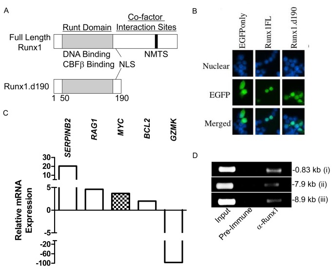 Human Jurkat T cells lentivirally transduced with Runx1.d190 show increased transcription of c-Myc . (A) Schematic of the structure of Runx1 and Runx1.d190. (B) <t>293T.</t> cells were transfected with empty pEGFP-N1 vector (EGFPonly, left column) as a control for cytoplasmic staining, pEGFP-N1 vector containing full-length Runx1 fused in-frame to EGFP (Runx1FL, middle column) or Runx1.d190 fused in-frame to EGFP (Runx1.d190, right column). The nuclear DNA was visualized by staining with Hoescht 33342 (Nuclear, top row). Nuclear (top row) and EGFP (middle row) fluorescence are shown in isolation and merged (Merged, bottom row). (C) Relative differences in transcription between Jurkat T cells lentivirally transduced with control empty vector or vector encoding Runx1.d190 as determined by microarray analysis are shown. A complete listing of genes whose transcription is affected by Runx1.d190 in Jurkat T cells is located at http://www.ncbi.nlm.nih.gov/geo/ . (D) ChIP analysis. Chromatin was prepared from Jurkat T cells lentivirally transduced with Runx1.d190 and immunoprecipitated with preimmune sera (Pre-immune) or anti-distal Runx1 (α-Runx1). PCR was carried out using primer sets amplifying Runx1-binding sites at -0.83 (i), -7.9 (ii) and -8.9 kb (iii) upstream of the human c-Myc transcriptional start site. N =3.