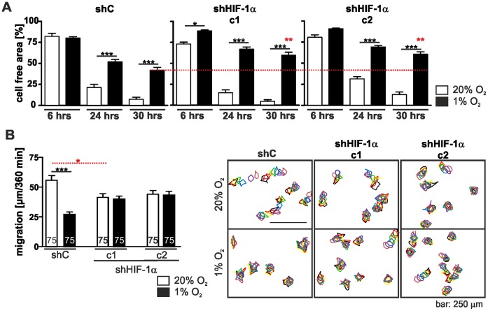 Depletion of HIF-1α alters cell motility. (A) Wounding assay of the HIF-1α knock down cell clones c1 and c2 and the non-target control shRNA (shC) cell clone in normoxia and hypoxia. Cells were grown in normoxia and hypoxia and experimental wounds were caused by scratching cell monolayers with a pipet tip. Images were taken at the indicated time points and the cell free area was determined. Hypoxia delayed wound healing. Note that knocking down HIF-1α slowed wound closure down even more (dashed red line). (B) Single cell migration of the HIF-1α knock down cell clones c1 and c2 and the shC cells. Cells were incubated at 20% O 2 and 1% O 2 for 24 hrs. Images were taken over a time period of 360 min and cell movement was analysed. shC cells showed a reduced migration under hypoxic condition, however this effect was not seen in the HIF-1α knock down clones c1 and c2. Numbers within the bars indicate the number of cells analysed. ** p