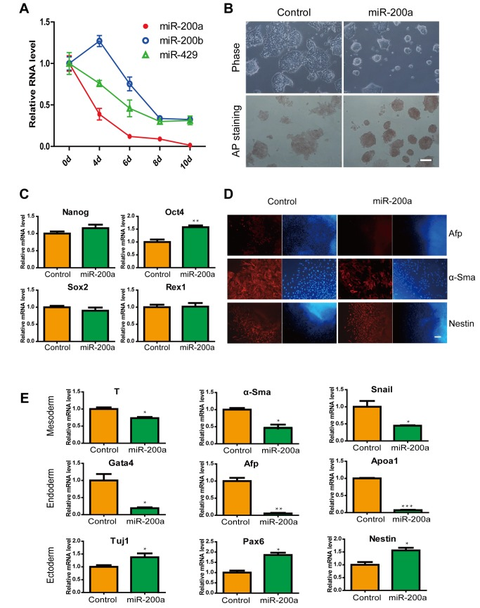 Effects of miR-200a in ES cells and ES cell differentiation. (A) The expression of miR-200a, miR-200b and miR-429 in ES cell diferentiation. (B) Brightfield images and alkaline phosphatase staining of ES cells without LIF at 72 hours post-transfection with miRNA-200a. The scale bar represents 100 µm. (C) Relative levels of Oct4, Nanog, Sox2 and Rex1 mRNA in control or miR-200a-transfected ES cells. (D) Representative immunofluorescence images of control and miR-200a overexpression after 10 days of EB formation. Red, layer markers; blue, nuclei. The scale bar represents 100 µm. (E) Expression levels of genes associated with the differentiated state in EBs in response to miR-200a expression. All data are shown as the means ± SD. Statistical significance was assessed by the two-tailed Student's t test. ***, p