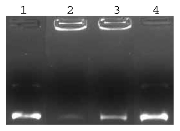 Effect of different concentration of ligands 6a on the interaction with pUC19 DNA (7 μg/ml) in a Tris-HCl buffer (100 mM, pH 7.4) at 37 ºC for 0.5 h. Agarose gel electrophoresis diagram: lane 1, DNA control ; lanes 2–4, ligand: [ 6a ] = 5.6, 4.2, 2.8 mM.