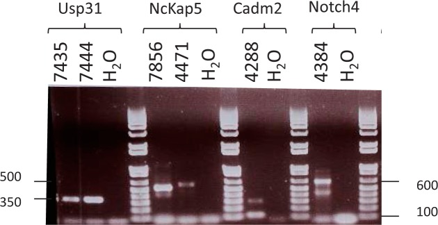Agarose Gel Analysis of Intragenic RT PCR Products RT-PCR verification of MMTV CIS intragenic expression of MMTV LTR U5-host chimeric mRNA from MMTV induced mammary tumors. Agarose gel (2%) electrophoresis of the PCR product using nested MMTV LTR U5 and host exon primers ( Supplementary Table 2 ). The size of the fragments, in base pairs (bp) is indicated on the Y-axis and is 350 bp for Usp31 , 500 bp for Nckap5 , 100 bp for Cadm2 and 600 bp for Notch4 . The name of the gene and a H 2 O control is indicated.