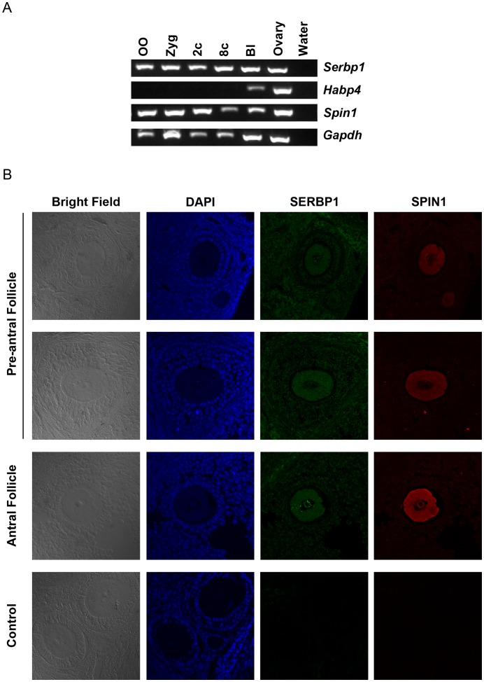 Expression profiles of Spin1 , Serbp1 , and Habp4 . (A) Expression of Spin1 , Serbp1 , Habp4 , and Gapdh in pre-implantation embryos and ovaries. OO: ovulated oocyte; Zyg: zygote; 2c: 2-cell stage embryo; 8c: 8-cell stage embryo; Bl: blastocyst. Each lane is the RT-PCR product of two embryos or two oocytes. Gapdh serves as controls. (B) Immunostaining of SPIN1 (red) and SERBP1 (green) on wild type ovarian sections by anti-SPIN1 and anti-SERBP1 as primary antibodies. Preimmune serum were used as controls. DNA (blue) was visualized by Hoechst 33342 dye.