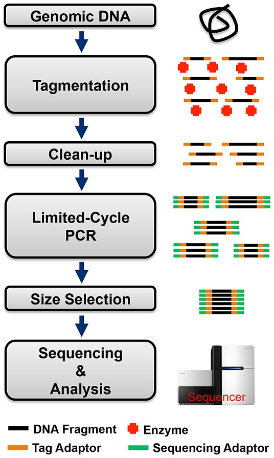 Nextera® protocol for preparing DNA libraries compatible with Illumina sequencers. Key steps include: gDNA tagmentation, clean-up, limited-cycle PCR, and selection of size-specific DNA library for sequencing and analysis.