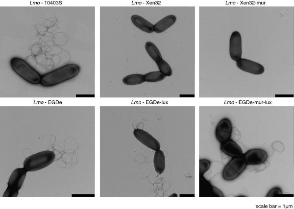 L. monocytogenes Xen32 strains are flagella deficient. Transmission electron microscopy of Lmo-Xen32, Lmo-Xen32-mur, Lmo-10403S, Lmo-EGDe-lux, Lmo-EGDe-mur-lux and Lmo-EGDe. Scale bars indicate 1 μm.