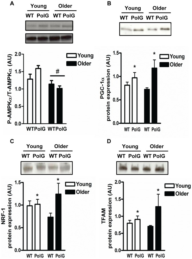 PolG mice display higher levels of mitochondrial regulatory proteins and transcription factors. AMPKα activation ( A ), PGC-1α ( B ), NRF-1 ( C ), and Tfam ( D ) were determined by Western Blotting in muscle from young (3–6 mo) and older (8–15 mo) WT and PolG animals. AMPKα activation is determined by phosphorylated AMPKα over total AMPKα. Representative blots are shown above with a graphical summary of the data below (n = 7–13). Significance was set at P