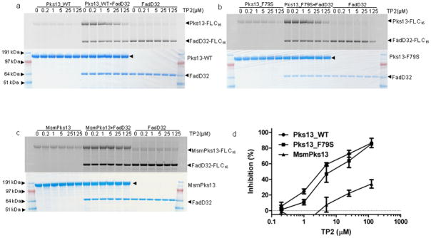 Inhibition of fatty acyl-AMP loading onto purified Pks13 by TP2 The loading of FadD32-activated FL C 16 on Pks13_WT ( a ), Pks13_F79S ( b ) and MsmPks13 ( c ) was determined by separating the reaction mixtures on SDS-PAGE gels. Activities were determined by measuring in-gel fluorescence (top panels of a , b and c ) and total protein by coomassie blue staining (bottom panels of a , b and c ). SeeBlue Plus2 Pre-stained marker (Invitrogen) was used as molecular weight standard and approximate molecular weights in MOPS running buffer are indicated. The loading of FL C 16 on Pks13_WT ( a ), Pks13_F79S ( b ) and MsmPks13 ( c ) was quantified using ImageQuant 5.2 (GE healthcare) and quantitation from 5-replicates (mean ± SD) each was used to generate inhibition curve ( d ). The full length images corresponding to these figures are shown in Supplementary Fig. 14 .